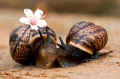 El lento amor de dos caracoles. The slow love of two snails.