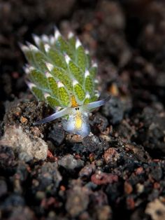 Este nudibrânquio é chamado Costasiella kuroshimae. Tem apenas alguns milímetros de comprimento e se alimenta de algas verdes, Avrainvillea . Esta espécie tem o nome da ilha Kuro, nas Ilhas Yaeyama, do Japão, onde foi encontrado pela primeira vez.