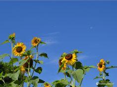 Slanciati verso il cielo, gialli come la loro stella preferita: il sole, i…