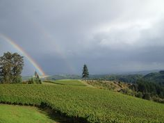 """A rainbow touches down near Fairsing Vineyard following a soft shower at sunset - """"Big Doug"""" (our lone Douglas Fir tree) and the vines enjoy the view! Douglas Fir Tree, Pinot Noir, Wines, Harvest, Vineyard, Rainbow, Shower, Sunset, Big"""