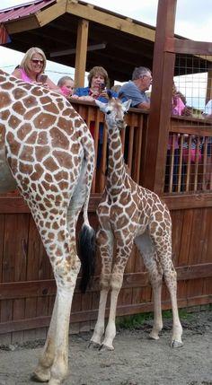 33+ Best Pics On April, Tajiri, Oliver the Giraffe and Allysa, Jordan - april the giraffe eating carrots