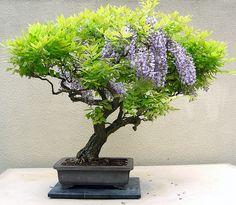 flowering bonsai | flowering wisteria - Bonsai 4 Weyerhaeuser Company's Pacific Rim ...