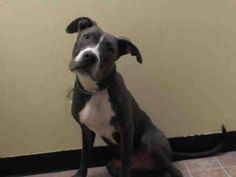 Manhattan Center    BOSCO - A1008754    NEUTERED MALE, GRAY / WHITE, PIT BULL MIX, 1 yr, 1 mo  STRAY - ONHOLDHERE, HOLD FOR ID  Reason STRAY   Intake condition NONE Intake Date 07/31/2014, From NY 10471, DueOut Date 08/03/2014,  https://www.facebook.com/Urgentdeathrowdogs/photos_stream?tab=photos_stream