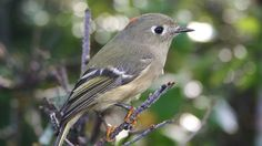 Ruby-Crowned Kinglet Weighs Less Than a Dime
