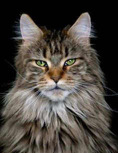 Main Coon. Me. As a cat.