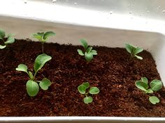 Keep the rocket seedlings' soil moist. Avoid direct sunlight on a hot weather!
