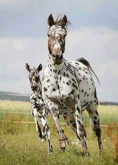 ANOTHER PINNER SAYS: some people think these horses look weird but i think they are amazingly beautiful...i would die for one!!! I SAY: I have an appy! Not so..spotty though! and she just had her foal yesterday! As I type these words the baby is living their first 24 hours!!!