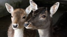 A zoo that eats it's residents: Animal lovers are up in arms as a wildlife animal park in Zurich, Switzerland, is killing and serving up its own animals in its on-site restaurant.