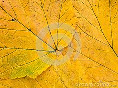 Bright yellow autumn leaves with veins closeup background