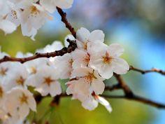 via National Geographic - Cherry Blossom, Nagoya, Japan Photograph by Achim Runnebaum Cherry Blossom Wallpaper, Cherry Blossom Tree, Cherry Tree, Tree Wallpaper, Photo Wallpaper, Paint Photography, Nature Photography, Local Parks, Nagoya