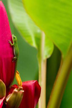 Hawaii Gecko by Kyle Crocker on 500px ~ Gecko at the Hawaii Botanical Gardens