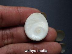 Batu Fosil Kerang Putih Kol Buntet Asli (kode:723)  https://wahyumulia.com/dijual/batu-fosil-kerang-putih-kol-buntet-asli-kode723