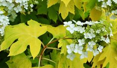Little Honey hydrangea quercifolia