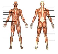 Anatomy chart and exercises/stretches for each muscle group! Great site!