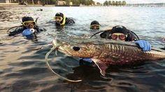 Giant fish in Mekong River - News VietNamNet