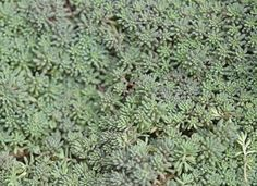 No-Effort Plants for a Foolproof Landscape Creeping Sedum: What homeowner wouldn't want a lush and colorful garden just outside the window?…Creeping Sedum: What homeowner wouldn't want a lush and colorful garden just outside the window? Garden Shrubs, Landscaping Plants, Front Yard Landscaping, Landscaping Ideas, Backyard Ideas, Garden Plants, Landscaping Edging, Outdoor Landscaping, Outdoor Plants