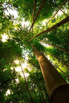 Bamboo forest - Maui, Hawaii (2010).  There are 1450 species of Bambuseae worldwide.  It is found from Asia to northern Australia (also the Americas and Africa).  It was introduced to the Hawaiian Islands, and is considered an invasive species.  -kc