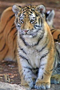 ✮ Baby Tiger Stripes
