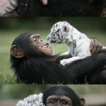 Chimpanzee showing love to albino tigers.