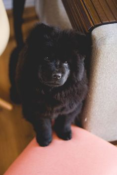 --:pt-->Conheçam a Kita<! Animals And Pets, Baby Animals, Funny Animals, Cute Animals, Cute Puppies, Cute Dogs, Chow Chow Dogs, Fluffy Dogs, Serendipity 3