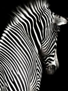 Zebra #photos, #bestofpinterest, #greatshots, https://facebook.com/apps/application.php?id=106186096099420