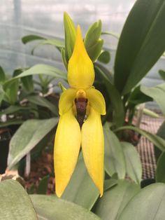 Bulbophyllum carunculatum 'Magnifico' AM/CHM/AOS | Flickr - © Orchids by Hausermann