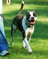 PRIME TIME (PT) is an adoptable Pit Bull Terrier Dog in Hilton Head Island, SC. Primetime was a 6 month old pup when he was hit by a car and taken to Greenville County Animal Shelter. He was set to be...