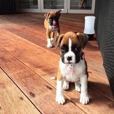 cute! #BoxerDog