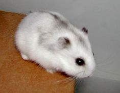 Dwarf Hamster care What's in your pocket? If it's not a dwarf hamster, then you're definitely missing out on one of the greater joys of life. And just in case you're wondering, they're called pocket pets, because, well . Dwarf Hamster Care, Robo Dwarf Hamsters, Funny Hamsters, Cute Hamster Names, Hamsters For Sale, Baby Hamster, Teddy Hamster, Hamster Animal, Hamster Cages