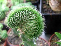 "Euphorbia Suzannae ""Cristáta"""