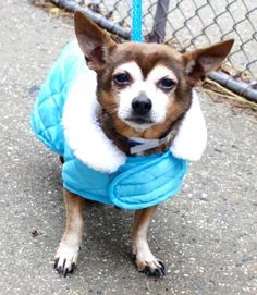 SAFE❤️❤️ 1/19/17 SUPER URGENT Manhattan Center SPARK – A1101689 MALE, TAN / WHITE, CHIHUAHUA SH MIX, 8 yrs STRAY – STRAY WAIT, NO HOLD Reason STRAY Intake condition EXAM REQ Intake Date 01/17/2017 http://nycdogs.urgentpodr.org/spark-a1101689/