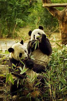 Os lindos pandas e nascentes de água quente podem ser vistos em Chengdu, China.  Fotografia: imagem do Pinterest em www.theprovocativecouture.com