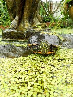 Turtle turtle los-animales