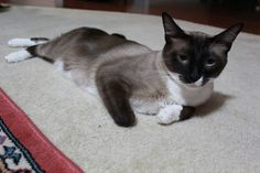 Check out Tom's profile on AllPaws.com and help him get adopted! Tom is an adorable Cat that needs a new home. https://www.allpaws.com/adopt-a-cat/siamese-mix-domestic-short-hair/1725351?social_ref=pinterest