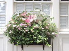 shade window box inpatients ivy charleston sc caladiums