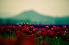Awesome,Beautiful,Color,Colour,Field,Flowers - inspiring picture on PicShip.com