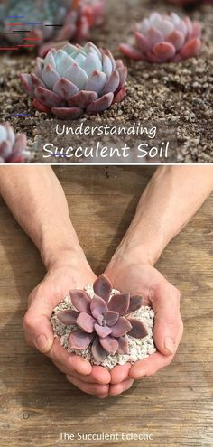 succulent soil is crucial to succulent care. Without the proper soil, you'll never get the watering right. But succulent soil doesn't have to be expensive! Learn all about what succulents need, and how to adapt your soil for your climate. Best Soil For Succulents, Purple Succulents, Succulent Soil, Succulent Landscaping, Hanging Succulents, Propagating Succulents, Growing Succulents, Succulent Terrarium, Succulents Garden