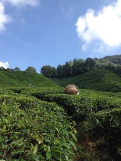 Boh tea Plantation - Cameron Highlands - Malaysia