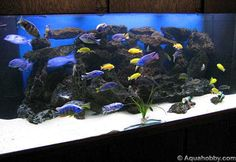 Fish Tank of September '08 at The Age of Aquariums - Tropical Fish