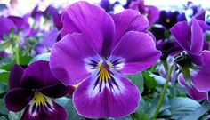 I'm crafting myself a purple pansy costume for Halloween! this picture is my inspiration. Pansies look like they have little faces! Amazing Flowers, Purple Flowers, Spring Flowers, Beautiful Flowers, Elegant Flowers, Flowers Garden, Exotic Flowers, Yellow Roses, Pink Roses