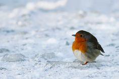 Icecold Robin by thrumyeye.deviantart.com