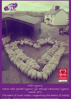 year of the sheep cny: Photographer Carys Mair Evans got two flocks of in-lamb ewes to form a heart shape and then took a picture of it to help Young Farmers' Clubs in Wales raise funds for the British Heart Foundation. Especie Animal, Mundo Animal, Farm Animals, Animals And Pets, Cute Animals, Wild Animals, Young Farmers, Heart In Nature, Sheep And Lamb