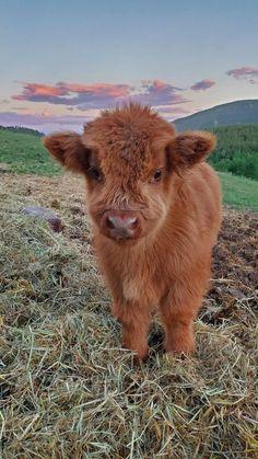 Cute Baby Cow, Baby Animals Super Cute, Cute Cows, Cute Little Animals, Cute Funny Animals, Cute Babies, Baby Farm Animals, Baby Cows, Baby Animals Pictures