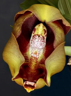 Anguloa hohenlohii #Orchid ... rare and beautiful