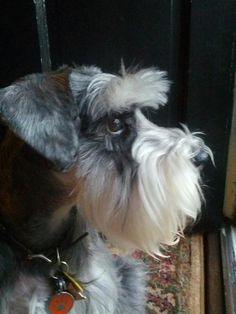 Great profile of this darling mini Schnauzer so so cute and looks just like mine!