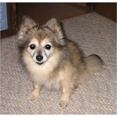 My sweet Sable, a Pomeranian/chihuahua mutt I adopted at 6 weeks old. She lived to be 15 and we were very bonded. I still miss her very much.