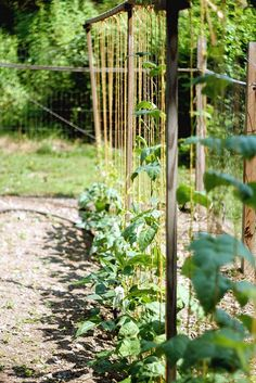 Pole Beans by Liesl ♥, via Flickr