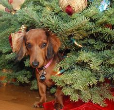Coco - dachshund under the tree