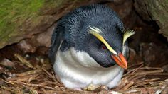 See penguins on a wildlife tour at Wilderness Lodge Lake Moeraki, West Coast, New Zealand. Watch the rare Tawaki (Eudyptes pachyrhynchus) or Fiordland Crested Penguin. Penguin Species, New Zealand, Penguins, Coast, Lush, Animals, Holiday Destinations, Dream Big, Places
