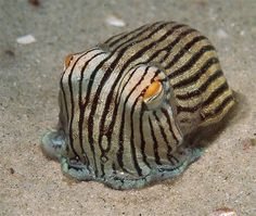 The Striped Pyjama Squid (Sepioloidea lineolata) is a cuttlefish native to the southern Indo-Pacific.the only known poisonous squid Underwater Creatures, Underwater Life, Beautiful Creatures, Animals Beautiful, Beautiful Ocean, Tony Brown, Fauna Marina, Water Animals, Wild Animals